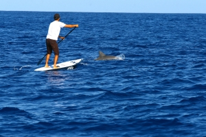 Dolphins love SUP
